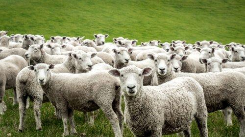A domesticação da ovelha