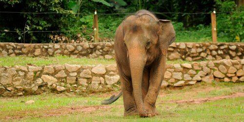 Elefante pigmeu