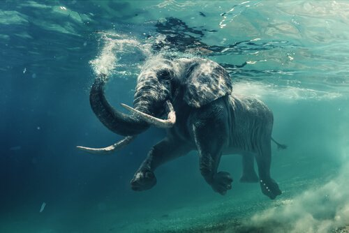 Elefantes nadadores