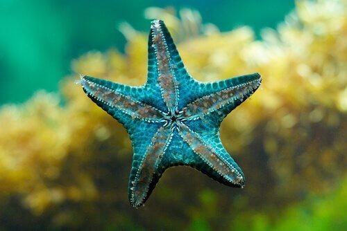 Estrela-do-mar azul