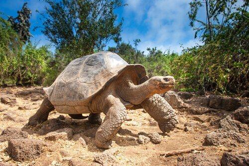 Como o casco da tartaruga é constituído?