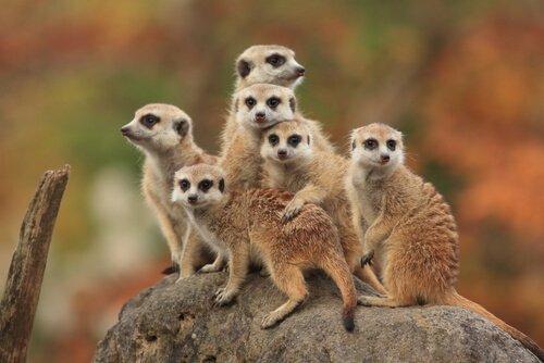Família de suricatos