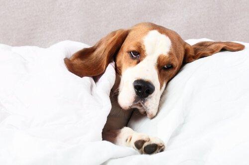 Como um cão pode pegar filariose?