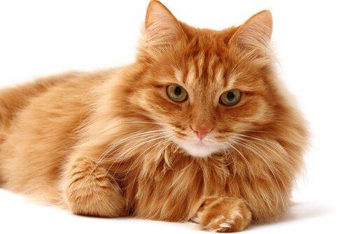 Gato com pelagem saudável