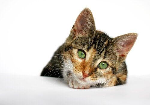 Um aliado na prevenção da AIDS em gatos