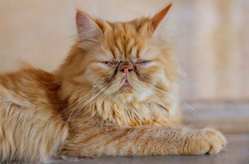 Gato persa visto de perto