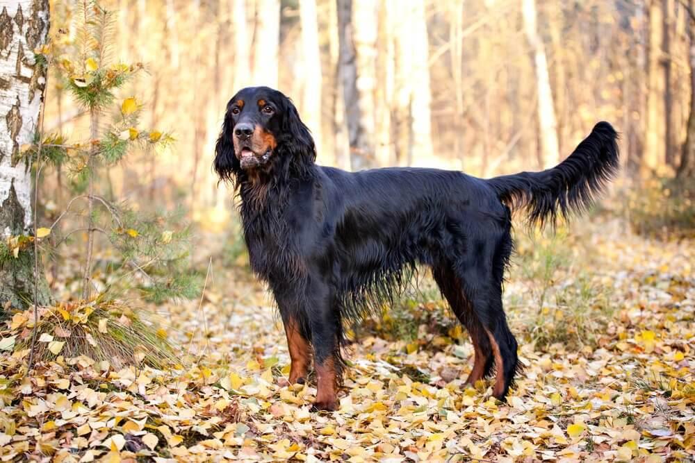 Setter Gordon, o mais elegante entre os cães escoceses