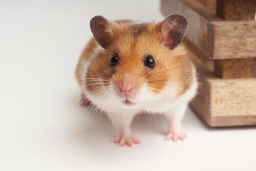 Reprodução do seu hamster