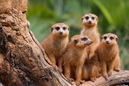 Grupo de suricatos