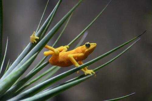 Habitat da rã-dourada-do-Panamá