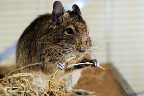 Hamster comendo feno