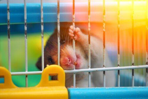 O que fazer diante de um hamster mordendo a jaula?