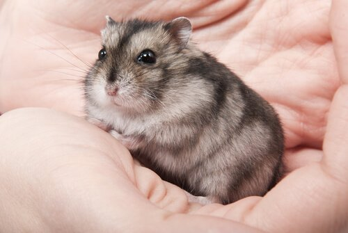 Hamster russo