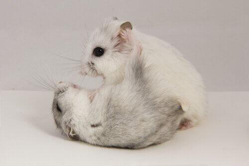 Os cuidados com o hamster são simples