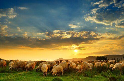 história da ovelha