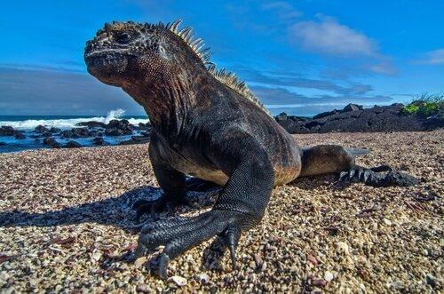 Dieta da iguana-marinha