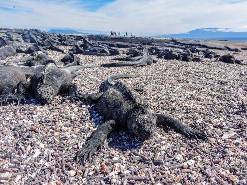 Características e comportamento da iguana-marinha