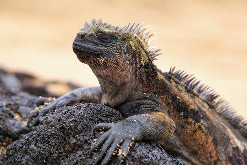 Conheça a iguana-marinha dos Galápagos