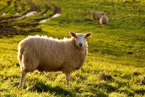 Inteligência das ovelhas