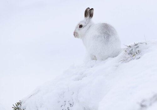 Lebre do ártico: características, comportamento e habitat