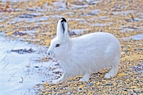Lebre encontrada no ártico