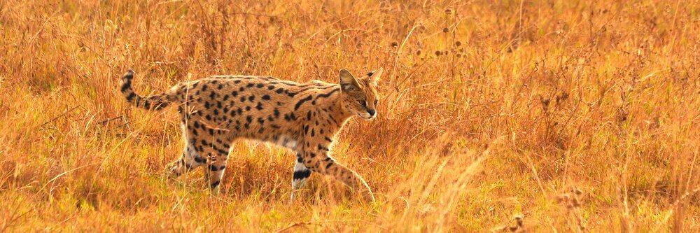 Características físicas deste belo gato selvagem