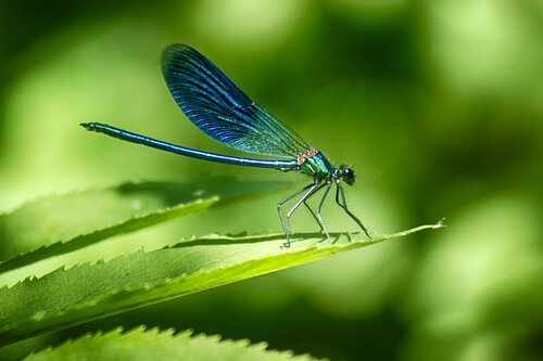Curiosidades sobre a libélula