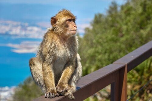 A história do macaco de Gibraltar