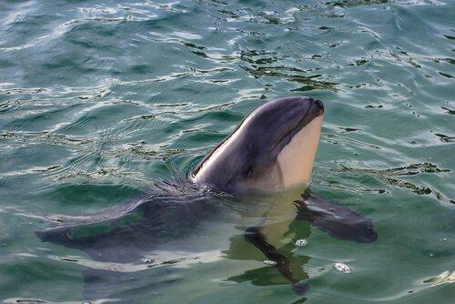 Classificação dos cetáceos