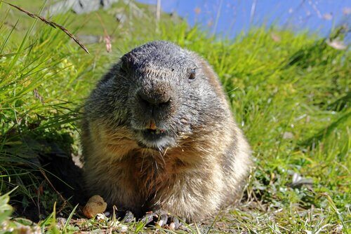 Conheça os hábitos da marmota alpina