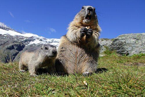 Marmota alpina e seu filhote