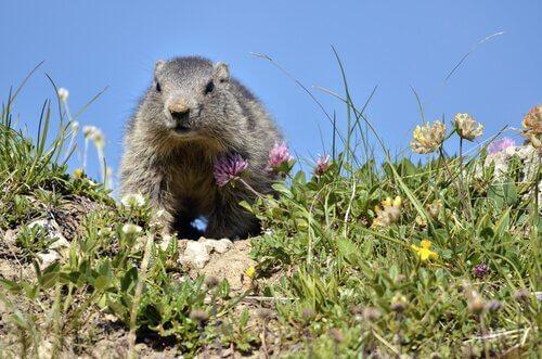 Marmota alpina e seu habitat