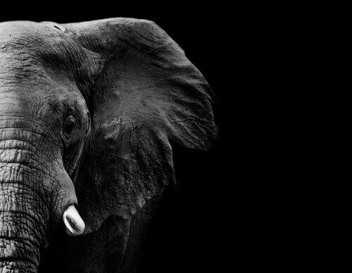 Memória do elefante: mitos e verdades