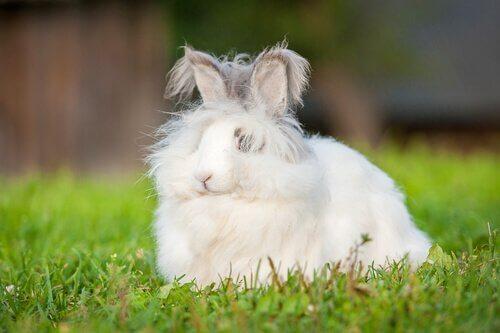Características do mini coelho angorá