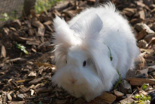 Como criar um mini coelho angorá