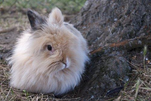 Cuidados com o mini coelho angorá