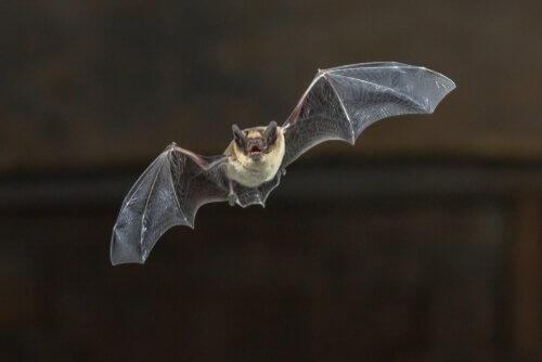 Os morcegos de Madagascar estão em perigo