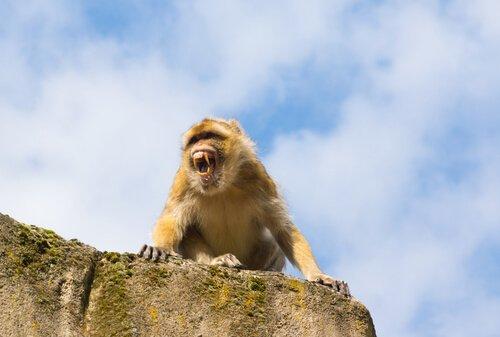 Macaco de gibraltar em rocha
