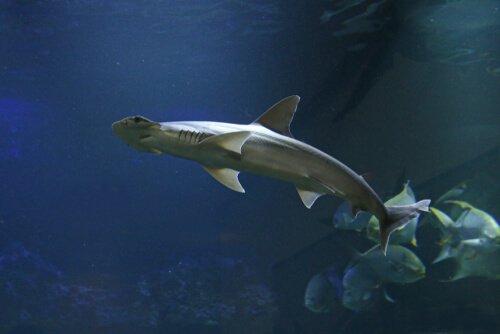 tubarão-de-pala