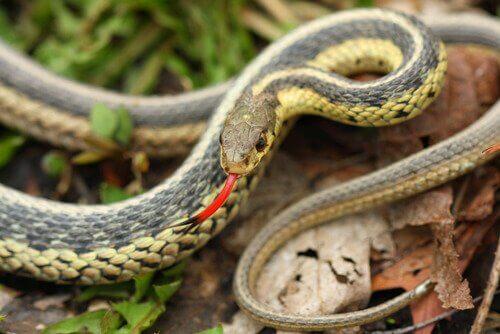 Detalhes sobre o órgão vomeronasal das cobras
