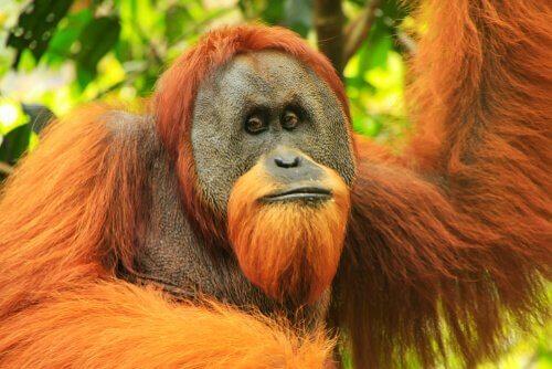 O orangotango de Sumatra: características físicas
