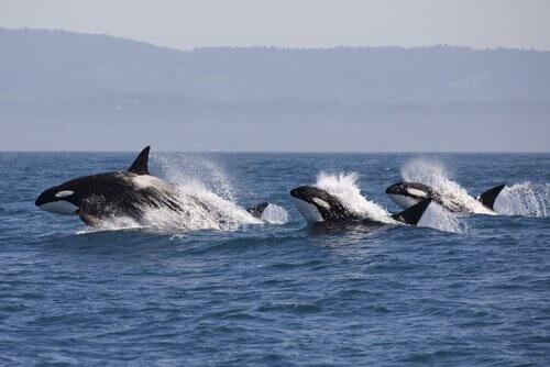 As orcas atacam os tubarões na África do Sul