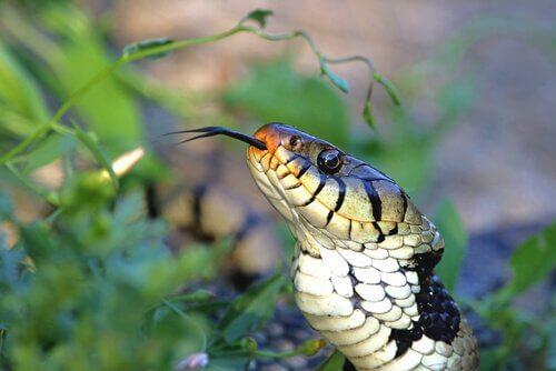 O órgão vomeronasal das cobras
