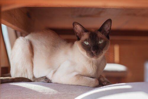 Gato tonquinês: cuidados, características e curiosidades