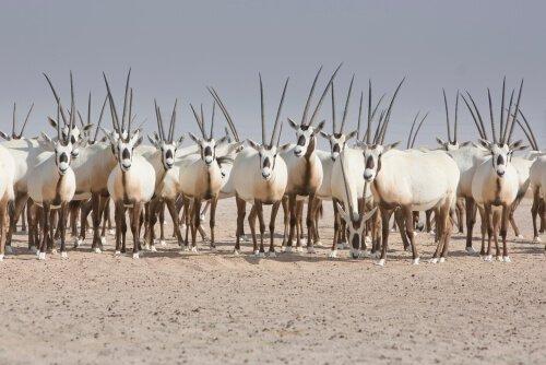 Exemplares de órix da arábia