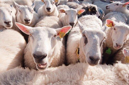 Você sabia que as ovelhas reconhecem pessoas?