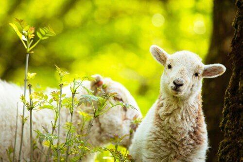Ovelhas e inteligência