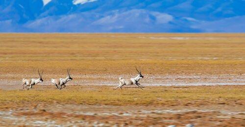 Antílope tibetano correndo