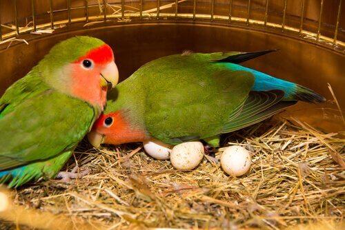 Os agapornis são pássaros tropicais