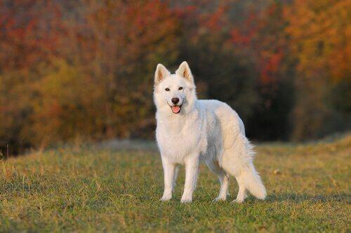 Caráter e personalidade do pastor branco suíço